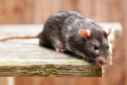 Mäusebekämpfung